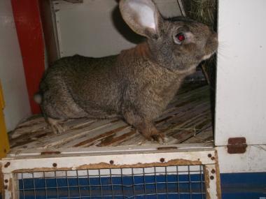 продам робочого кроля