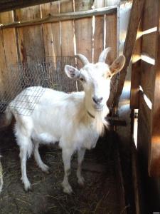 Продам 2 козі