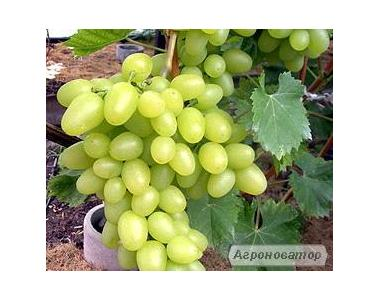 Саджанці винограду сорт Аркадія