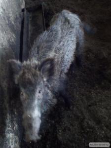 Дикий кабан и свинья