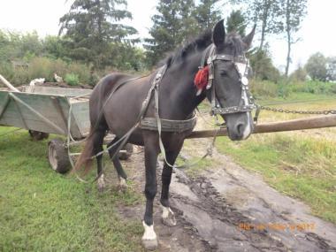Продам лошадь 1.6 г.