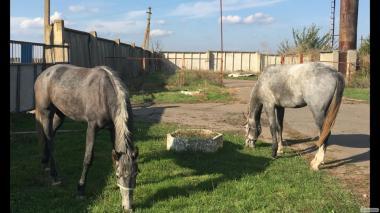 Продам пару лошадей