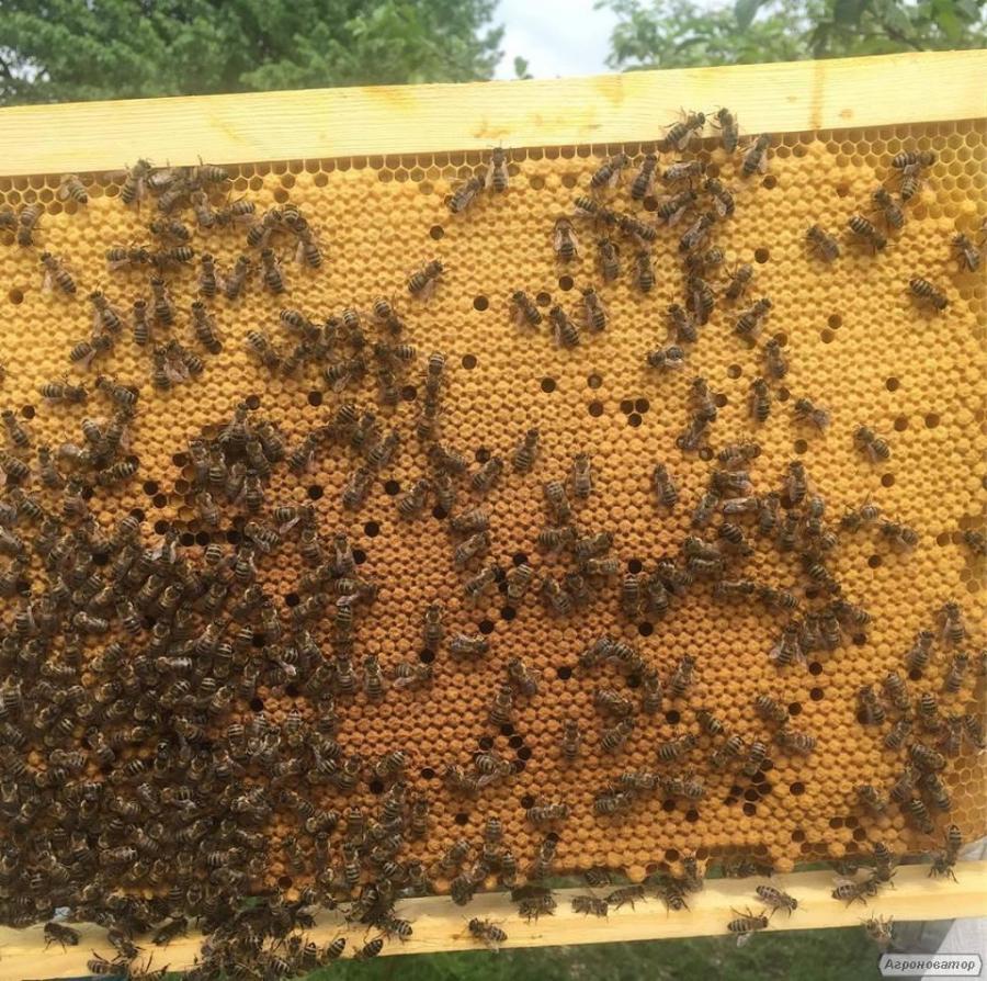 Плодные меченые матки украинской степной пчелы 2018. Пчеломатки