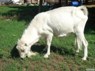 Продам взрослого проверенного козла ламанчи