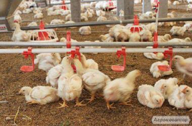 Подрощенны цыплята бройлера