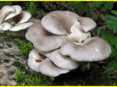 Мицелий Вешенки рожковидной / Вешенка обильная (Pleurotus cornucopiae)