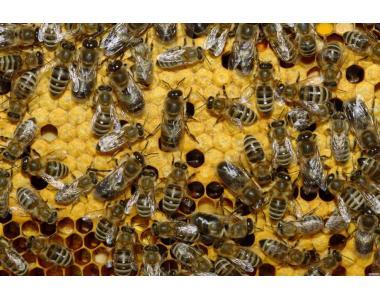 Бджоломатки Сірої гірської кавказької породи