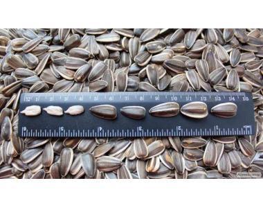 Продам СУМО-2017 Крупные семена подсолнуха!Доставка по всей Украине