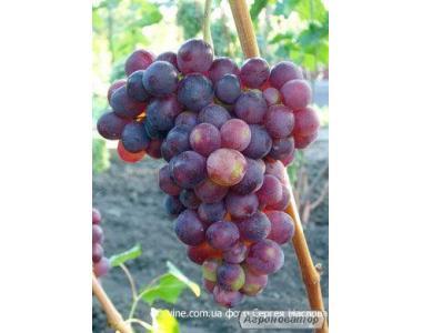 Саджанці винограду Імпульс