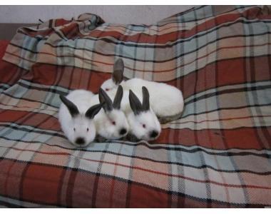 Племенные кролики на развод