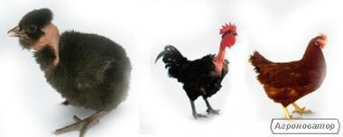 бройлер и несушка суточные цыплята