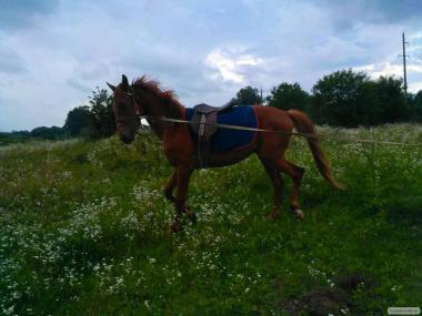Жеребець Українська Верхова,Кінь.Лошадь