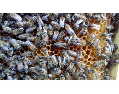 Продам пчелопакеты и плодных маток в большом количестве.