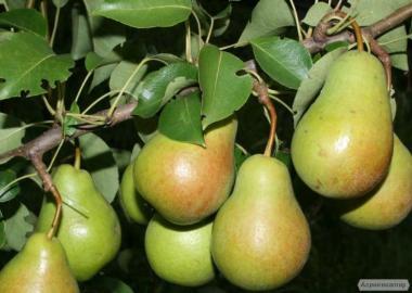 Саджанці груші сорту Пам'яті князя Трубецького, від виробника