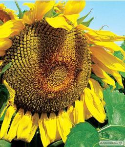 Насіння соняшнику 8Х449КЛДМ від виробника Дау Сідс (Dow Seeds)