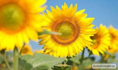 Гибрид подсолнуха Сонячный Настрий