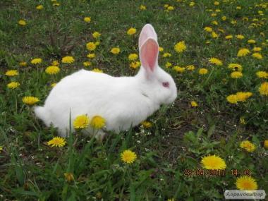 Кролики породистые.