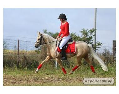 Уэльская пони Картинка