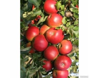 Продам яблоки, груши, сливы.