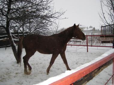 продам 2-летнюю лошадь