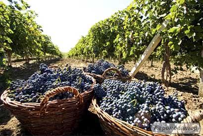 Продам домашнє вино натуральне !!! р. Київ!