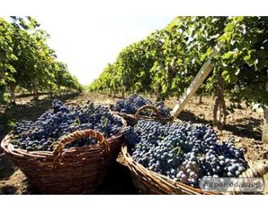 Продам домашнє вино натуральне ! р. Київ!