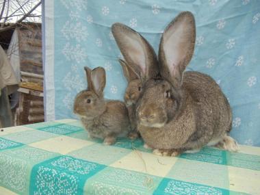 Продам кроликів Бельгійський велетень ,Обер