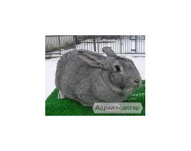 Продам кроликов акселератов породы шиншилла