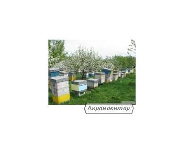 Пчелопакеты и пчелосемьи (Кировоград)