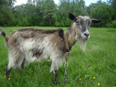 Дойная коза Продам