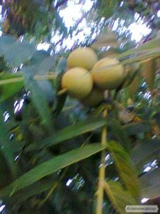Продам насіння чорного горіха