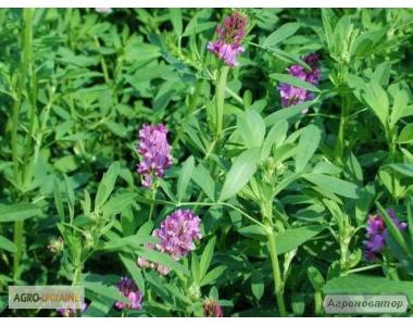 Семена люцерны - Радуга, Регина, Надежда (эко и намагниченная)