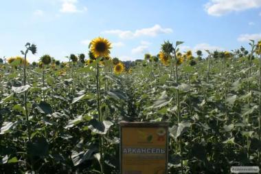 Семена кукурузы Солонянский 298 СВ. ФАО 310 от производителя