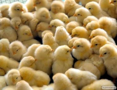 Цыплята бройлерные и мясо-яичные наилучшего качества с доставкой