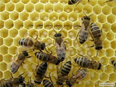 Продаю бджолопакети 3+1. 50 штук