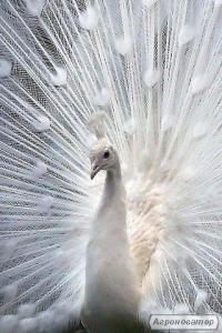 Продам королівських білих павичів, черноплечих і звичайних, павлинят