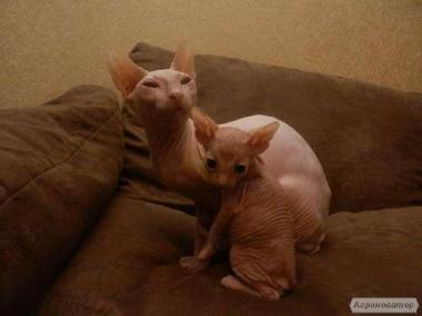 Продаються кошенята породи Донський сфінкс.2 хлопчика.Голорожденные