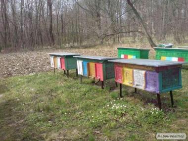 Продам бджоломатки карпатка 2017, Матки плідні мічені!!