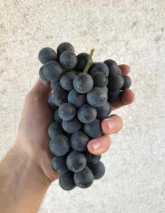 Изабелла. Виноградный сок. Закарпатье