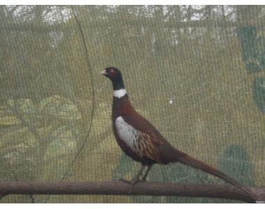 Продам мисливських та румунських фазанів