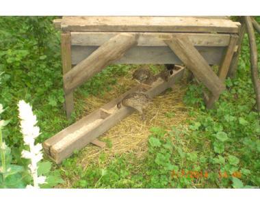 Продам  охотничьих и румынских фазанов