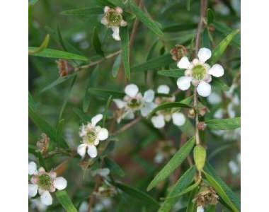 Лептоспермум Петерсонии или Лимонное чайное дерево