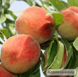 Саженцы персика сорта Виргил Т-4 , от производителя