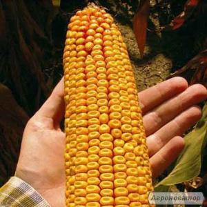 кукурудза ЯНІС (ФАО 270) / Насіння кукурудзи за низькою ціною | Від вироб
