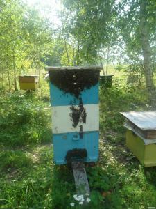 Продам пчелопакеты Карника F1