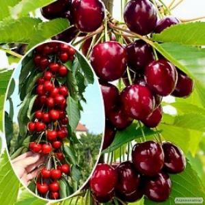 Саженцы элитных сортов плодово ягодных более 600 товаров питомник