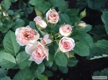 продажа саженцы роз