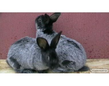 Продам кроликов мясной породы Французкий баран