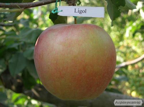 Саджанці яблуні сорту Лігол , від виробника, відмінної якості