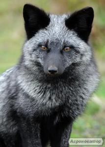 Продаю щенков серебристо-черной лисы(чернобурка) и песца
